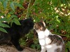 Kissing Zade (Mink) Tags: black male cat garden persian franz kuwait kuwaiti zade marzouq