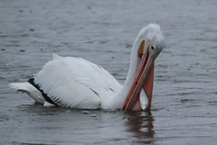 American White Pelican, Minnesota River/Black Dog Lake West Outflow, Burnsville, MN. (painguy007) Tags: bird minnesota pelican burnsville americanwhitepelican minnesotariver blackdogroad blackdoglake