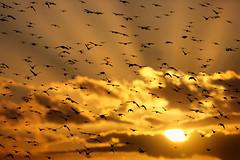 Murmuration (Alan MacKenzie) Tags: sunset birds brighton wildlife sunnysideup starlings brightonpier murmuration palacepier starlingmurmuration wildlifewednesday