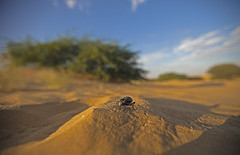 In the Desert (www.sandeepmall.com) Tags: india macro canon insect that desert wideangle rajasthan
