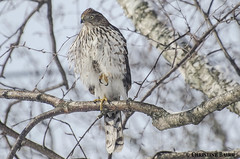 Cooper's Hawk (Summerside90) Tags: winter snow ontario canada bird nature birds garden backyard wildlife february hawks birdwatcher coopershawk