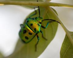 46) Chrysocoris stolli (Jewel Bug) (Kumar nav) Tags: park tree bug jewel kotturpuram stolli chrysocoris