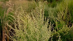 """Mauvaises Herbes"" (mahler9) Tags: plants field grass reeds weeds goldenrod jaym mauvaisesherbes mahler9"