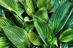 Plant Leaves (Origin_AL) Tags: uk plants green water leaves garden droplets drops flora pattern highcontrast