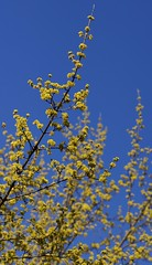 Kornelkirsche (Cornus mas) (HEN-Magonza) Tags: dogwood springtime frhling corneliancherry cornusmas kornelkirsche europeancornel botanischergartenmainz mainzbotanicalgardens