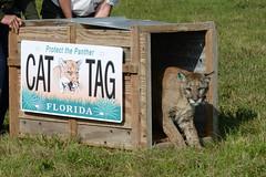FP224 release 09 (MyFWCmedia) Tags: usa florida wildlife release panther 2014 fwc floridapanther floridafishandwildlife myfwc myfwccom injuredpanther fp224