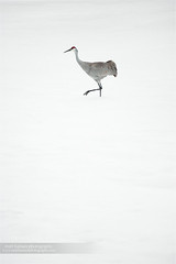Sandhill Crane (www.matthansenphotography.com) Tags: winter lake snow cold bird love nature weather animal composition pose walking interesting alone dancing artistic crane michigan space wildlife detroit happiness delicate snowfall minimalist isolated avian sandhillcrane simplistic wadingbird recordsetting matthansenphotography
