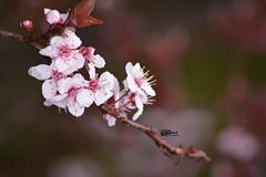 Flowers (kamalalsanea) Tags: flowers roses university technology amman science jordan kamal q8  irbid   a     alsanea