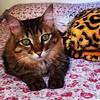 green-eyed tigra (koheka) Tags: flowers beauty cat relax bed greeneyes gato sheet cama lençol olhosverdes
