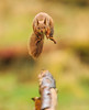 Red Jumper (markrellison) Tags: wild england animal jumping squirrel native unitedkingdom wildlife yorkshire 300mm northyorkshire iso1600 lightroom redsquirrel f35 sciurusvulgaris lr4 11600sec ef300mmf28lisusm canoneos5dmarkiii lightroom4
