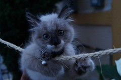 Cat 1. (karenlfrcd) Tags: blue cats baby beautiful cat eyes ojos gato tender tierno
