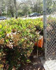 020 Hidden From Public View (saschmitz_earthlink_net) Tags: california fence losangeles control orienteering encino 2014 losangelescounty lakebalboa laoc lakebalboaanthonycbeilensonpark losangelesorienteeringclub
