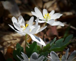 Wildlife Prairie Park   --Wild Flower