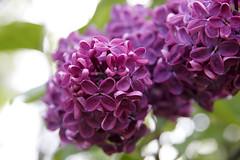 a woman (goh berlin) Tags: flower frida lila pfingrose bloommen