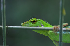 lizard on the fence5