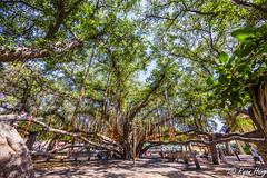 Banyan Tree (Ryan O. Hung) Tags: tree hawaii maui banyan banyantree 6d 14mm hugetree