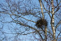 Tuulepesa kasel (Jaan Keinaste) Tags: nature estonia pentax birch kask eesti loodus k3 pentaxk3 tuulepesa tuuleluud nialuud