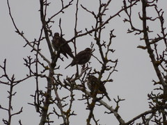 P1610965c Three Young(?q?)Fieldfares . .  ( F-A.A..A...R . . distant shot, across adjoining FIELD . . oops . ! - as ever . . !! ! ! .. Sorry all ! !! ) (Erniebobble::) Tags: above wood trees winter red portrait sky brown blur tree eye art nature field silhouette yellow contrast woodland dark painting season grey golden wings pattern looking branches profile flock cream overcast pale hidden study bbc edge unknown balance beyond perched lichen growing resting fading transition glimpse twigs far dull newforest tranquil speckled tails avian gentle distant unseen redwings feathered beaks twitcher textural behaviour 2015 springwatch youngbirds wildlifegarden unsprung chrispackham winterwatch fieldfares wintervisitors wintermigration seasonalmigration erniebobble