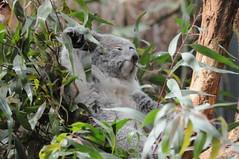 Koala  im Zoo Duisburg (Ulli J.) Tags: germany deutschland zoo koala nrw duisburg tyskland allemagne nordrheinwestfalen duitsland northrhinewestphalia queenslandkoala rhnaniedunordwestphalie noordrijnwestfalen