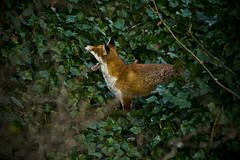 Big Yawn (blackpuddinonnabike) Tags: edinburgh wildlife fox redfox duddingston vulpes figgatepark