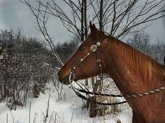 Promenade en fort (Amiela40) Tags: winter horse tree forest cheval promenade neige arbre fort
