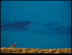El guanaco vigía