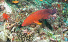 Plectropomus leopardus - Coral trout 01.jpg