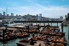 AMERICA, UN VIAGGIO IN CALIFORNIA. EXPLORE 30/01 (Salvatore Lo Faro) Tags: california nikon san francisco mare leoni 39 molo uniti marini baia stati
