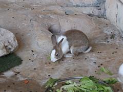 Isn't he beautiful? (oldandsolo) Tags: rabbit bunny fauna zoo rodent uae abudhabi unitedarabemirates zoologicalgardens leporidae smallmammals emiratesparkzoo samhaabudhabi lagomorpha