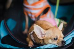 Dog in Samar. (petervandever) Tags: puppies philippines typhoon calbayog westernsamar