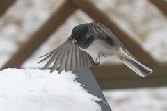 Male dark-eyed junco landing on a snow-covered table (Scott Alan McClurg) Tags: life winter wild snow cold bird nature fly flying song wildlife flight neighborhood deck sparrow suburbs snowing gliding flapping flap songbird darkeyedjunco naturephotography glide darkeyed wildlifered