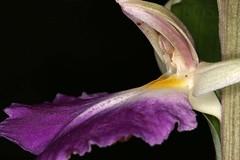 Brachycorythis helferi (Pterodactylus69) Tags: orchid flower fleur flor hannover orchidaceae botany hanover orchidee botanicgarden blte botanica botanik botanischergarten herrenhusergrten herrenhausen berggarten herrenhausengardens