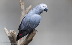 African Grey Parrot (Yasir Subhan) Tags: parrot exotic africangreyparrot congoafricangreyparrot africanparrot canon70200mmf28isusmii canon7dmarkii