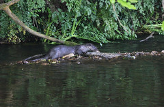 European otter (Lutra lutra) with lamprey (8) (Geckoo76) Tags: river otter lamprey europeanotter