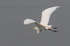 Great Egret in Flight (lisanelson2011) Tags: galveston heron hermitcrab port fisherman pelican cheryl cormorant tern egret kem shrimpboats sanderling willet ruddyturnstone avocet redwingblackbird 2016 laughinggull reddishegret