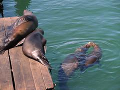 friends on the pier (kenjet) Tags: sanfrancisco california friends sun animals fun bay pier dock kissing wildlife kisses wharf fishermanswharf sanfranciscobay sealions pier39