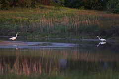 stand-off (Liam A. Hart) Tags: nature birds egrets
