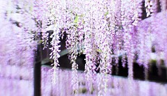 (sweetheart*) Tags: flower nature purple wisteria
