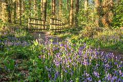 Bluebells at Ynysmaengwyn, Tywyn (Explore) (babs pix) Tags: bluebells landscape countryside outdoor snowdonia springflowers woodfloor gwynedd ynysmaengwyn snowdoniamountainsandcoast tywyngwynedd cadaircountry
