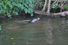 European otter (Lutra lutra) with Lamprey (5) (Geckoo76) Tags: river otter lamprey europeanotter