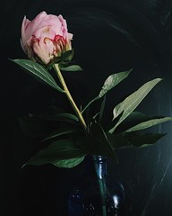 Happy Monday (life stories photography) Tags: pink stilllife flower leaves square may peony squareformat vase iphone 2016 iphoneography instagramapp uploaded:by=instagram vintagebluebottle
