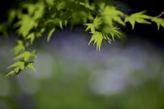 Japanese maple leaves (joka2000) Tags: iris leaf japanesemaple