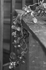 Dangling (odeleapple) Tags: plant pentax dangling k5 lls 77mm pentaxfa