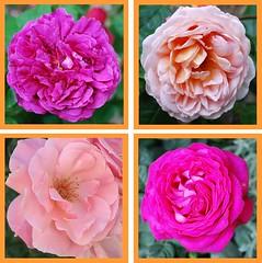 Lamm, das von keiner Schuld nichts wei (amras_de) Tags: flower fleur rose flor rosa roos blomma rosen gl blume fiore blte blomst rs rozen virg lore bloem blm iek floro roser kwiat flos ciuri kvet arrosa kukka rozes cvijet vrtnica flouer blth cvet zieds ruusut is trandafir floare rza rua rzsa blome rozo iedas roe rue rosslktet