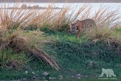 """Shere Khan"" (fascinationwildlife) Tags: park wild summer india lake male reed nature animal cat mammal big asia wildlife tiger natur national predator ranthambhore"