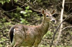 Out In The Open (Vidterry) Tags: deer whitetaileddeer lowerwoods cedarriverwoods