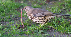 You can't worm your way out of this one (cuppyuppycake) Tags: uk bird nature work spring nikon outdoor song wildlife feathers thrush d7200
