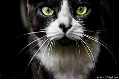Follow Me (Fabio75Photo) Tags: white black animal yellow cat eyes occhi sguardo gatto bianco nero