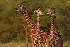 Masai Bull Giraffes at Sunset - 6845b+ (teagden) Tags: africa sunset wild west tower nature three nikon kenya african wildlife bull safari giraffes giraffe trio masai tsavo bachelors naturephotography kenyasafari africansafari africanwildlife africasafari wildlifephotography tsavowest kenyaafrica tsavokenya kenyawildlife jenniferhall jenhall africanphotography bullgiraffe safarisunday jenhallphotography jenhallwildlifephotography dkgrandsafaris tsavoafrica