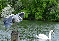 """ Get away from my post swan!"" (Eleanor (No multiple invites please)) Tags: uk london heron swan post kensingtongardens thelongwater nikond7100 may2016"